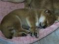Machito shiba inu durmiendo la siesta.