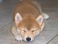 Un cachorrito shiba inu dormido en el piso