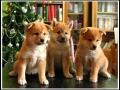 Tres cachorritos shiba inu con un arbol de Navidad en el fondo!