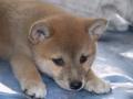 Maiko cuando era una cachorrita. Aqui la vemos sobre la cama.