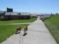 paseando-con-shiba-inu-walking-with