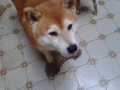 red shiba inu magic playing with rope
