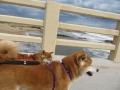 shiba-inu-dogs-on-holidays-perros-de-vacaciones1