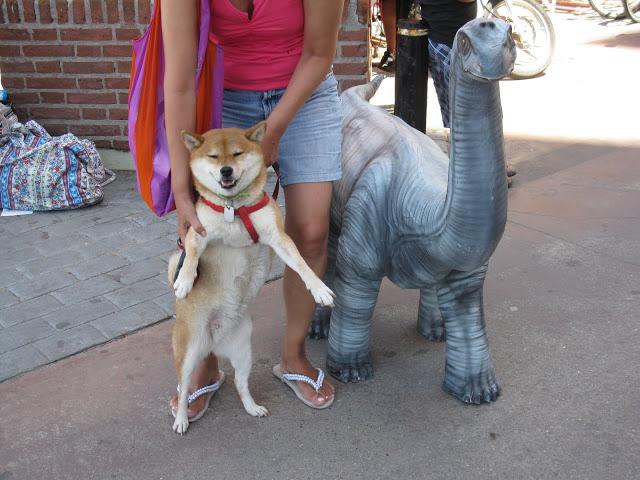 Shiba Inu Suko with her favourite dinosaur!