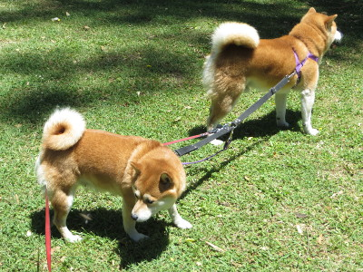 Right male shiba inu takes alpha role