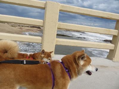 Shiba inus Magic y Suko de vacaciones en la costa atlantica