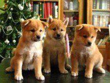 Tres cachorritos shiba inu rojos delante de un arbol de Navidad