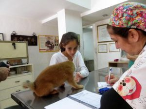 La Dra. Marite Chaer examina un cachorrito shiba inu.