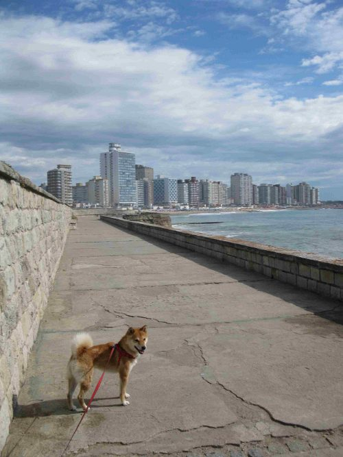 nagumo-city-atlantic-looking-back-mirando-atras-shiba-inu
