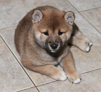 Shiba Inu female puppy by Suko and Kuro