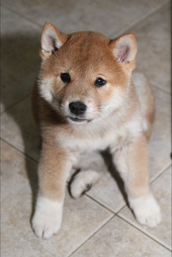 Shiba Inu puppy by Naka and Mink