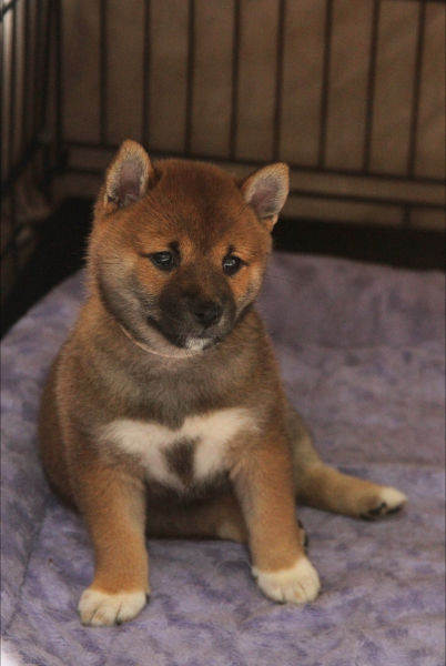 Shiba Inu puppy by Suko and Kuro