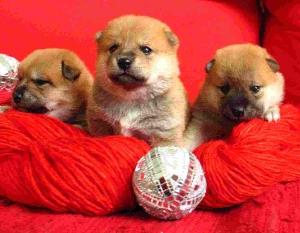 Tres cachorritos shiba inu sobre fondo rojo