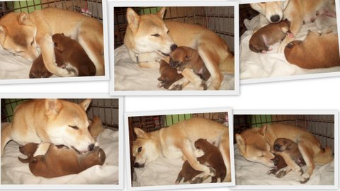 2-cachorros-shiba-inu-naka-puppes