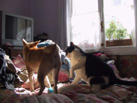 shiba-inu-maiko-playing-with-benji-the-cat