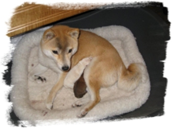 shiba-inu-millie-with-two-puppies-dos-cachorros