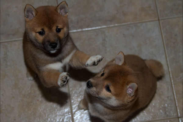 two-dos-cachorritas-shiba-inu-pups-playing-jugando-suko