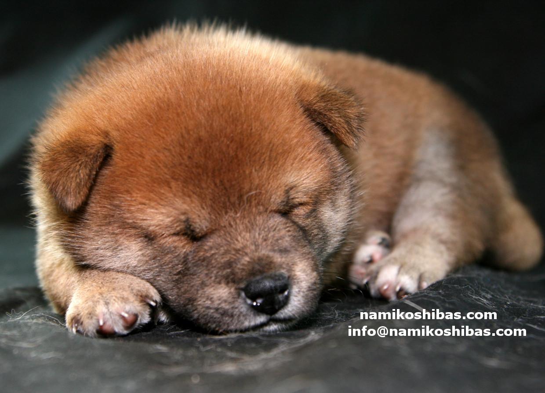 walpaper_sleeping_shiba_inu_puppy